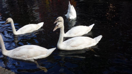 Swans, judging me for not giving them food (except the one in the back, who is a bit more pragmatic)